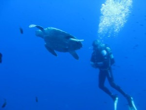 turtle diving 2